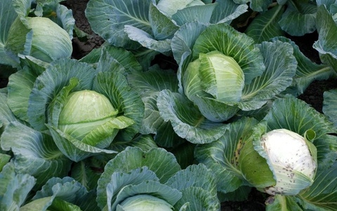 091_Cabbages.jpg