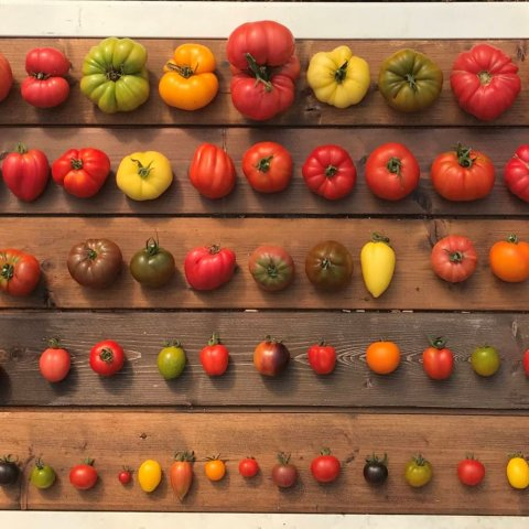 collectie tomaten